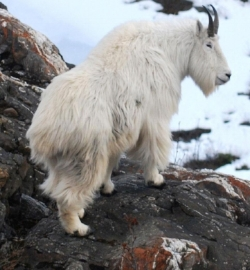 mountain goat.jpg