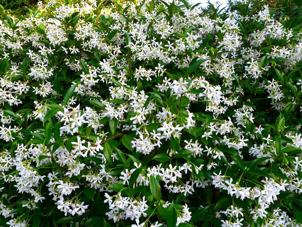 Japanese Honeysuckle Bush