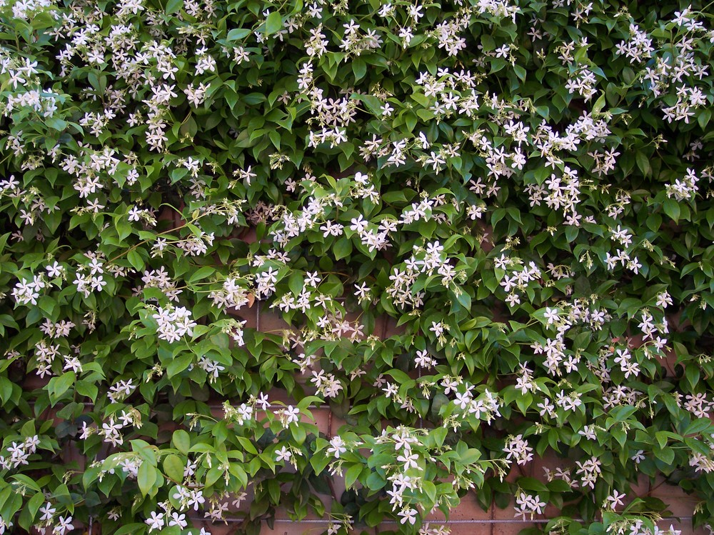 Picture of Live Star Jasmine aka Trach. jasminoides - staked Plant Fit 5 Gallon Pot