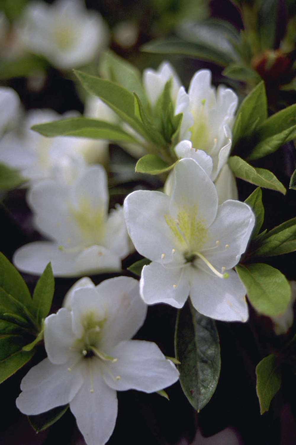 Pictured: Azalea Alba Magnifica