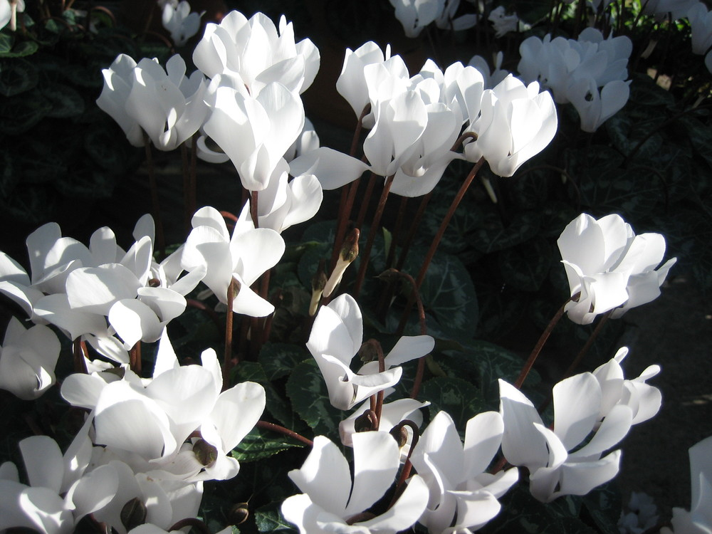 Cyclamen White.jpg