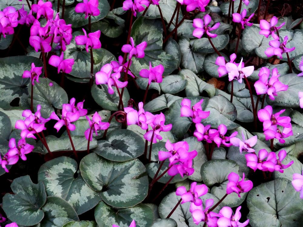 Cyclamen - Pink.jpg