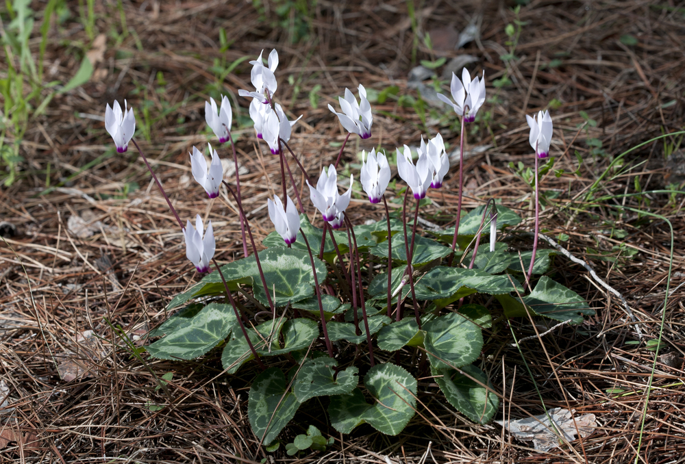 Cyclamen - In Ground.jpg