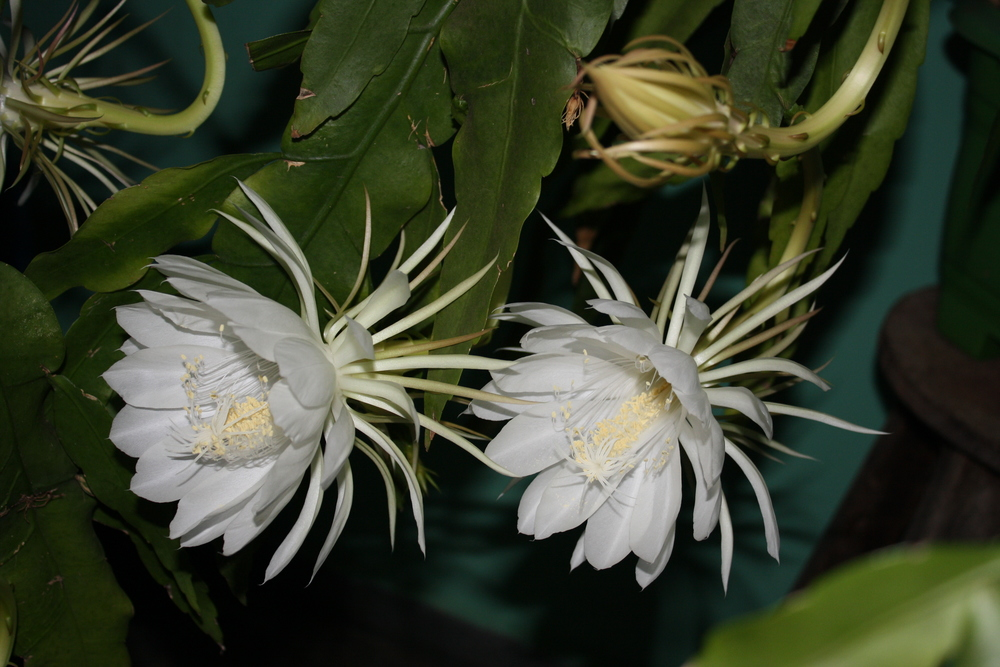 Pictured:   Epiphyllum Oxypetalum   'Queen of the Night Cactus'   (Very rare, Yes we can source these)