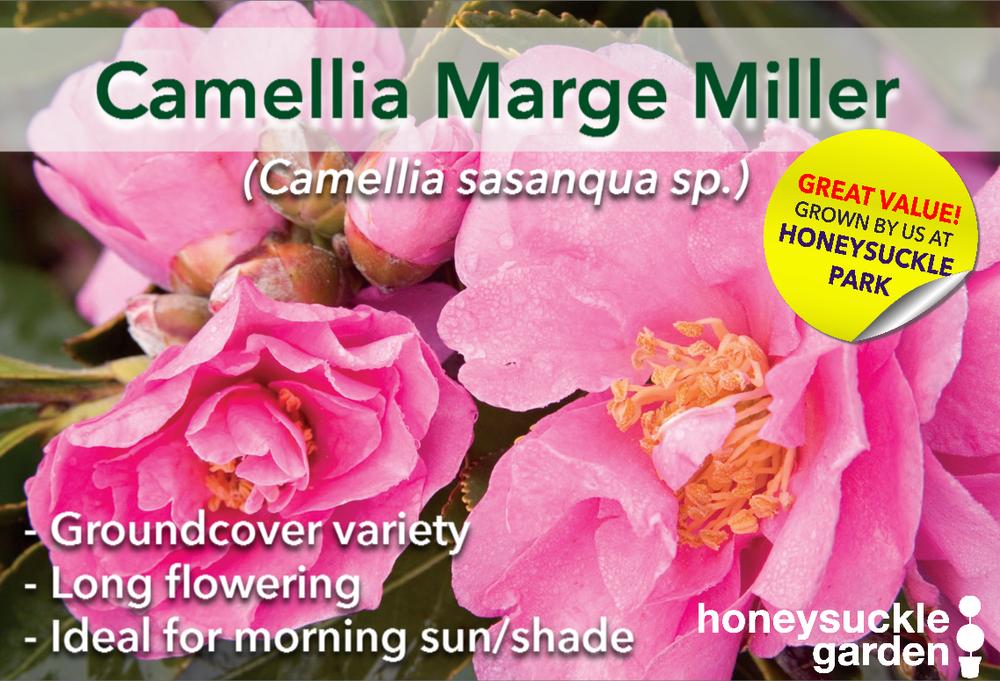 Camellia marge miller.png