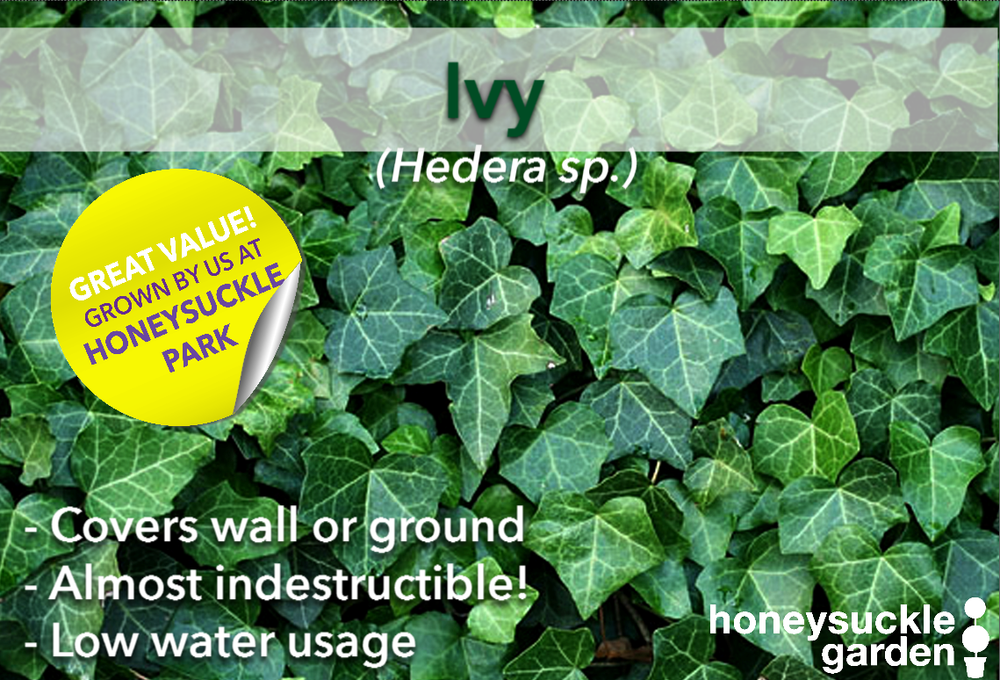 Hedera.png