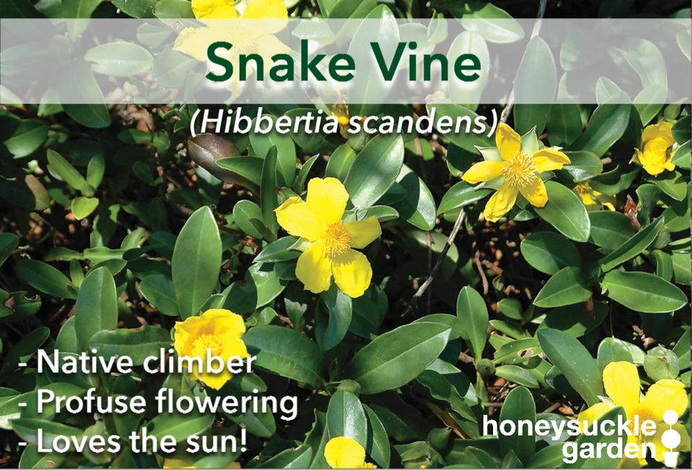 Hibbertia scandens.png