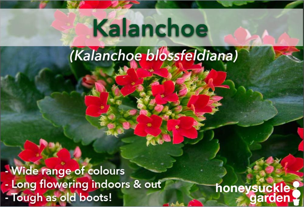 Kalanchoe blossfeldiana.png