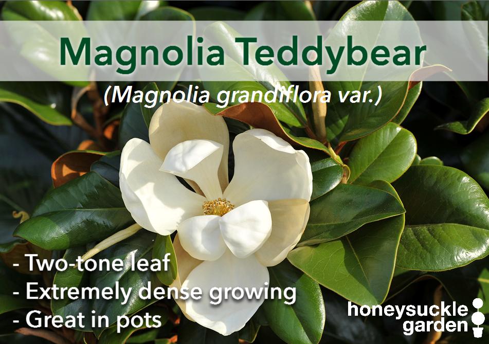 Magnolia grandiflora.png