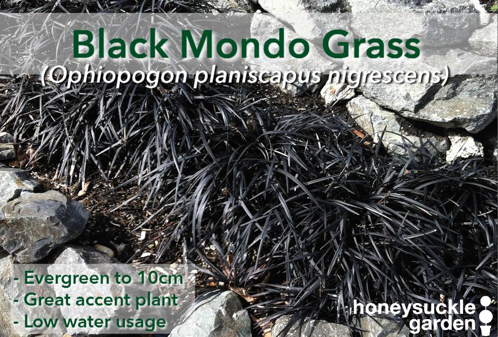 Ophiopogon planiscapus nigrescens.png