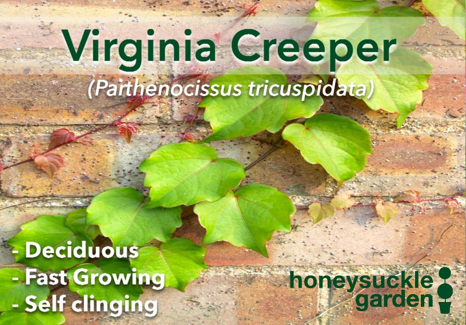 Parthenocissus tricuspidata.png