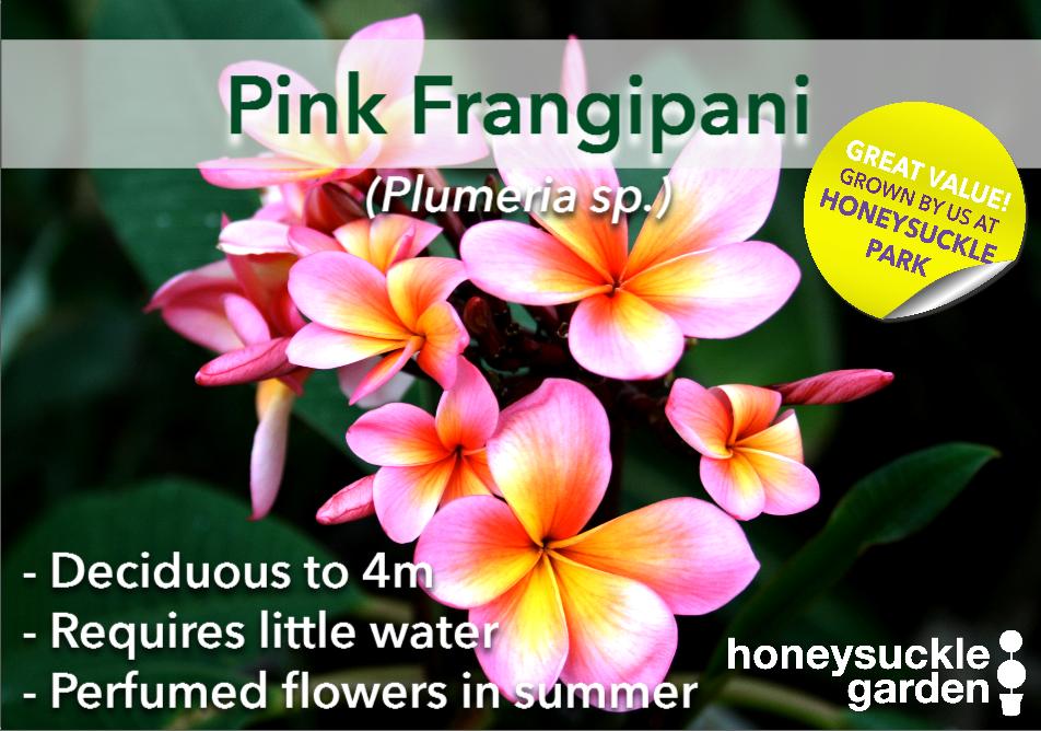 Plumeria pink.png