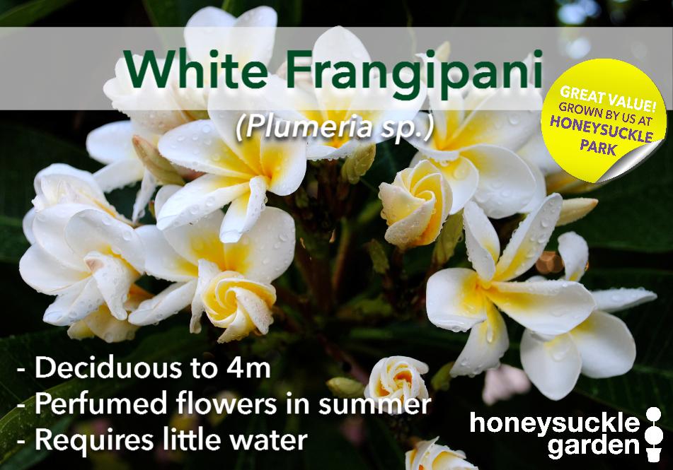 Plumeria white.png