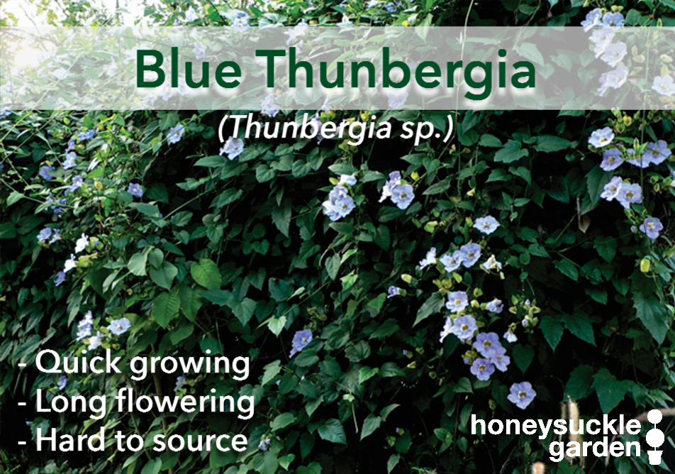 Thunbergia blue.png