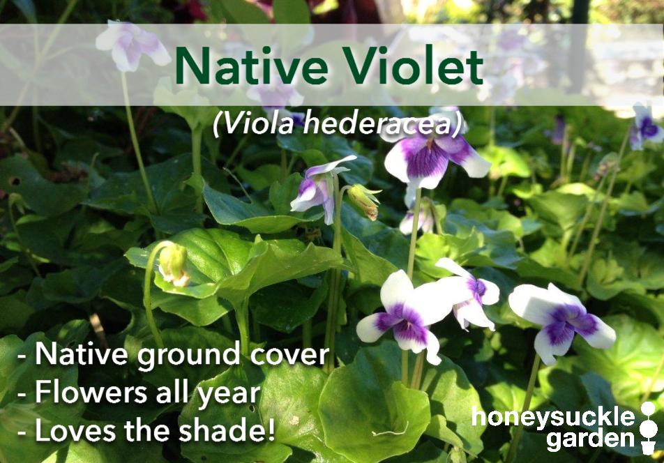 Viola hederacea.png