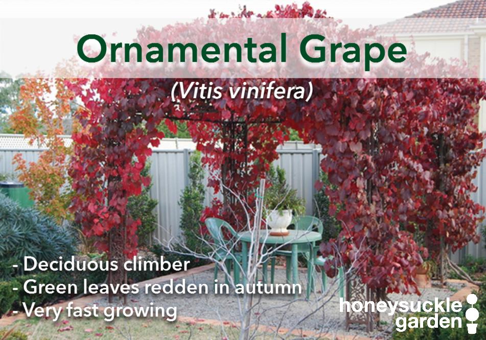 Vitis vinifera.png