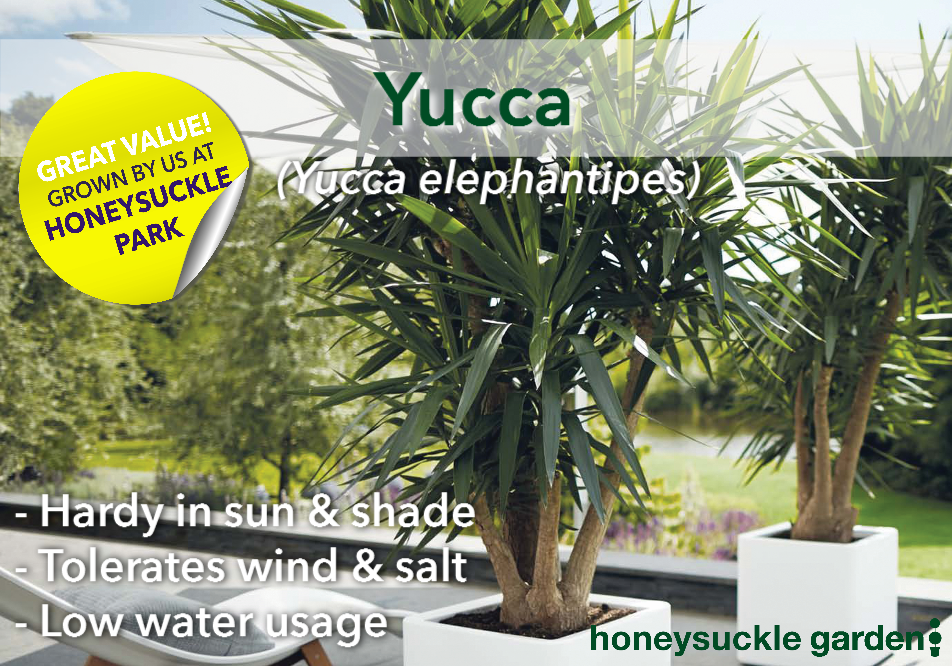 Yucca elephantipes.png