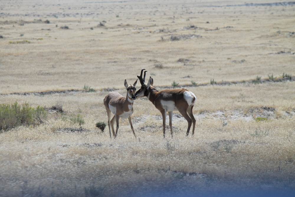 Pronghorn pair.jpg