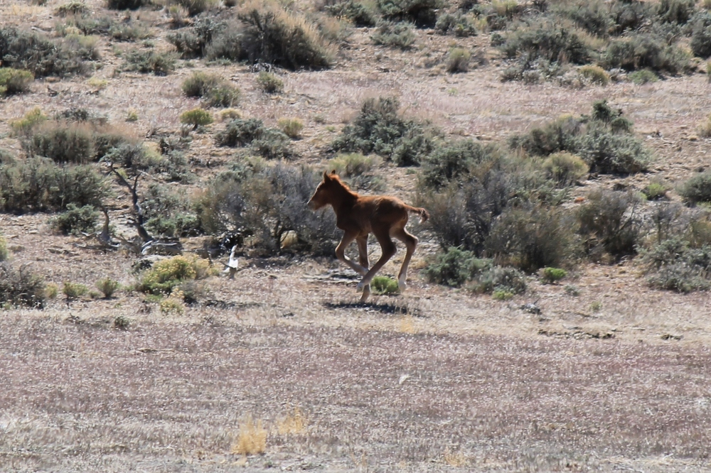 Very young foal in Ledger Canyon 2.jpg