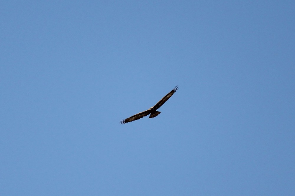 Golden Eagle above Ledger Canyon