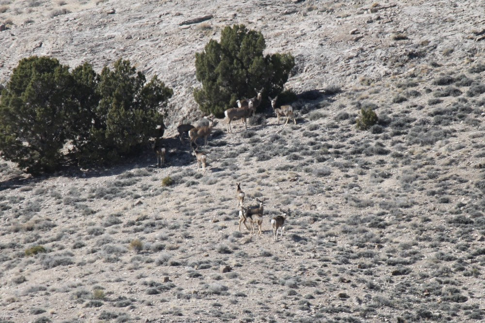 Mule deer below Plympton Ridge.