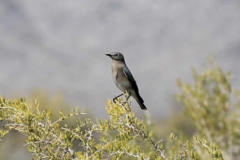 Townsend's Solitaire at Coyote Springs