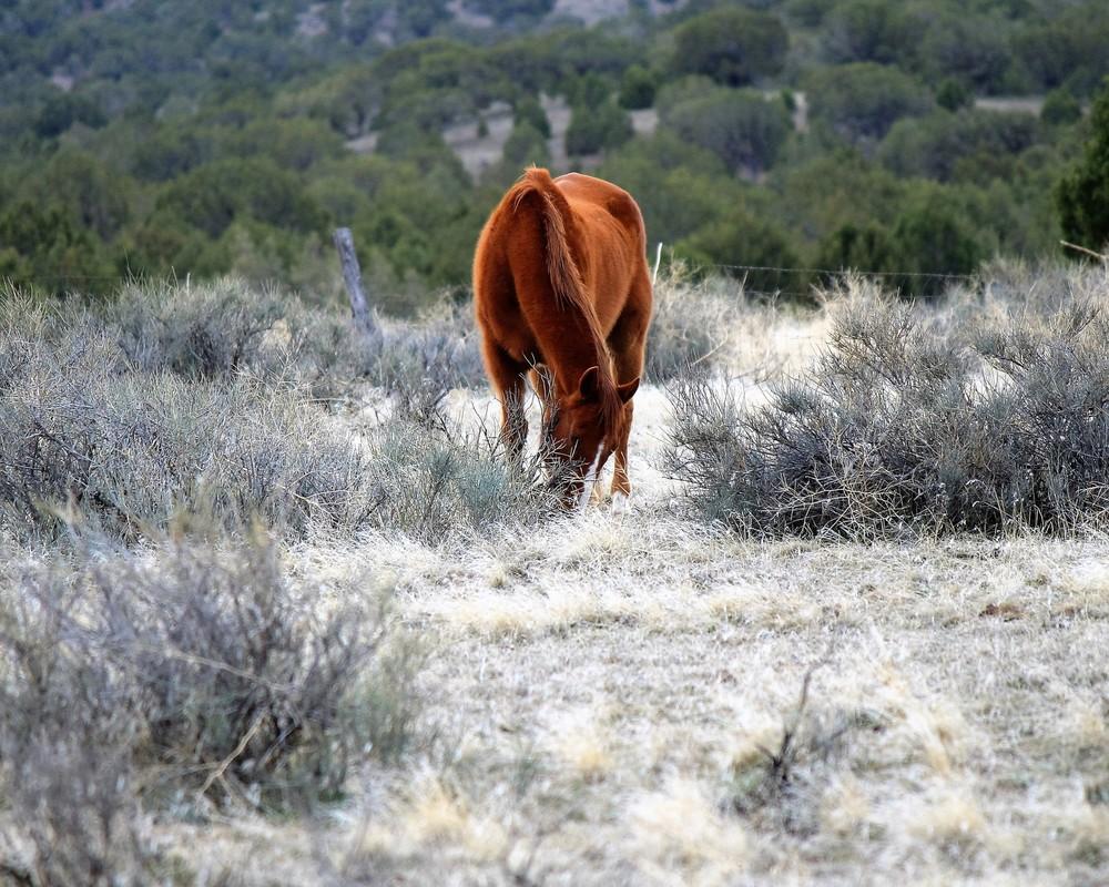 Chloride Canyon Mustang