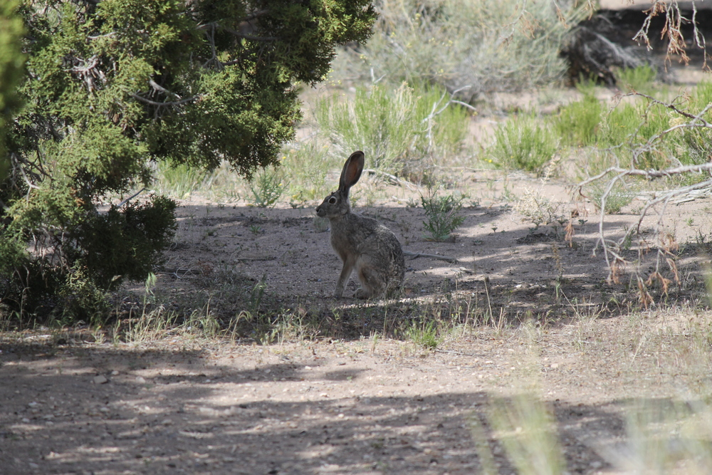 Black-tailed Jackrabbit (Desert Hare) near Snake Pass Rd