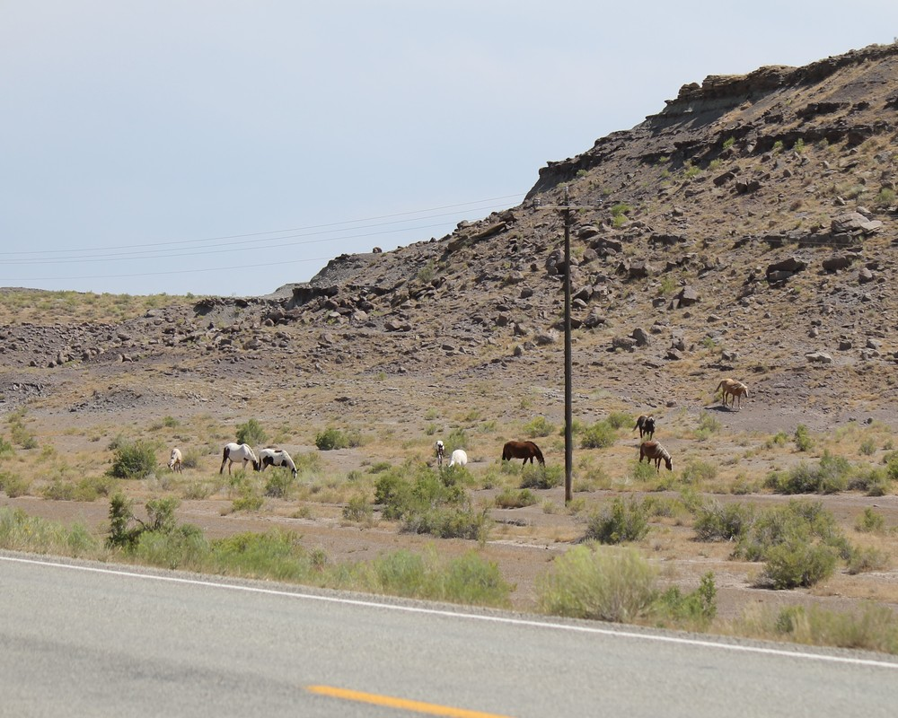 Roadside grazing south of Ouray