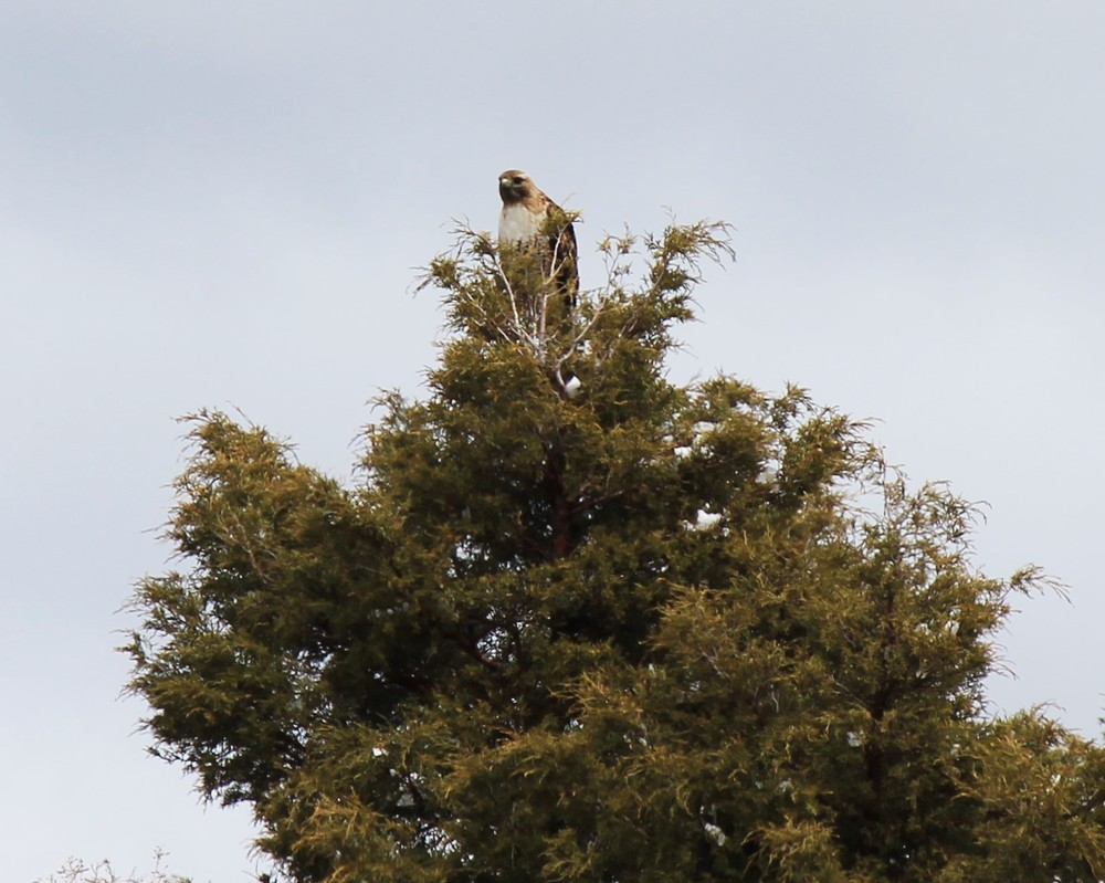 Red Tail Hawk near Book Cliffs Ridge