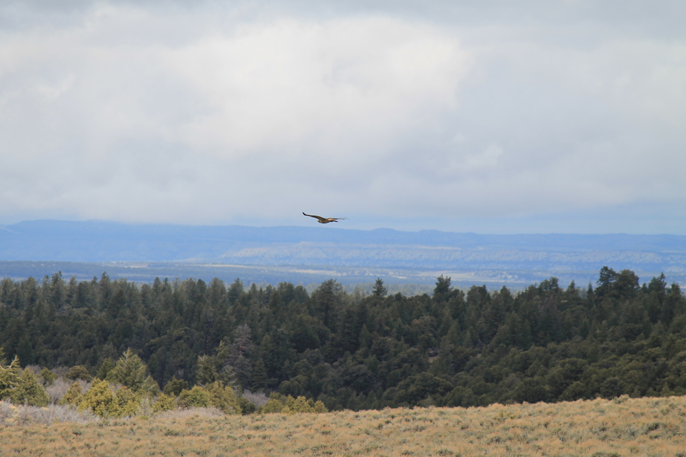Red Tail Hawk soaring away