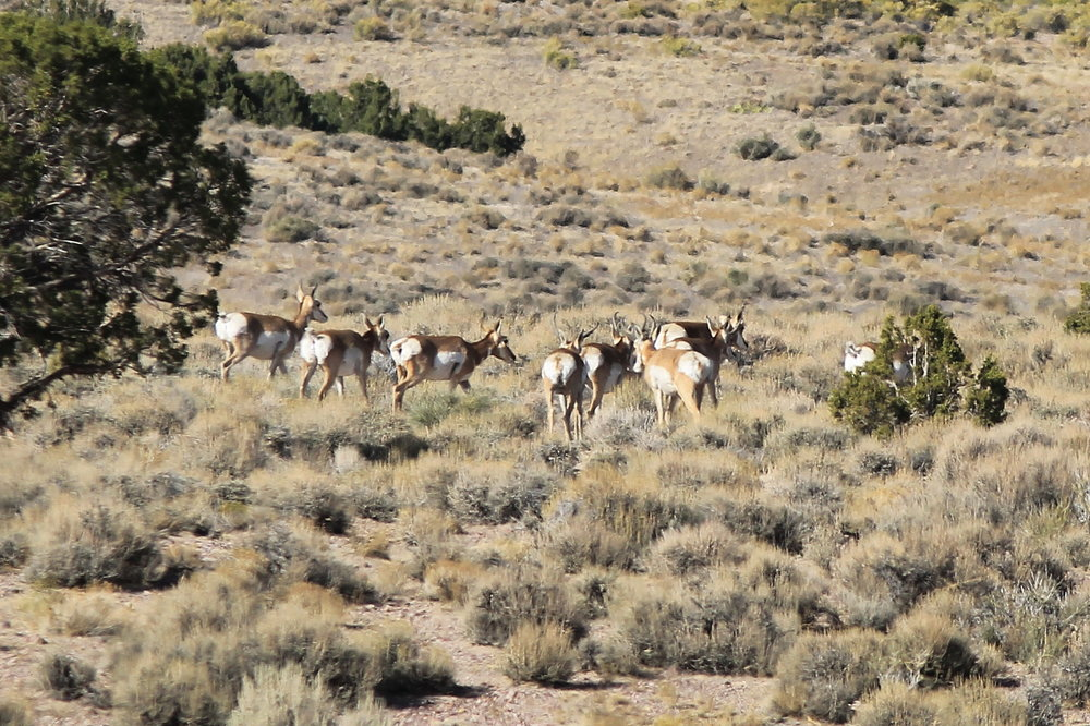 Pronghorns in the easter foothills