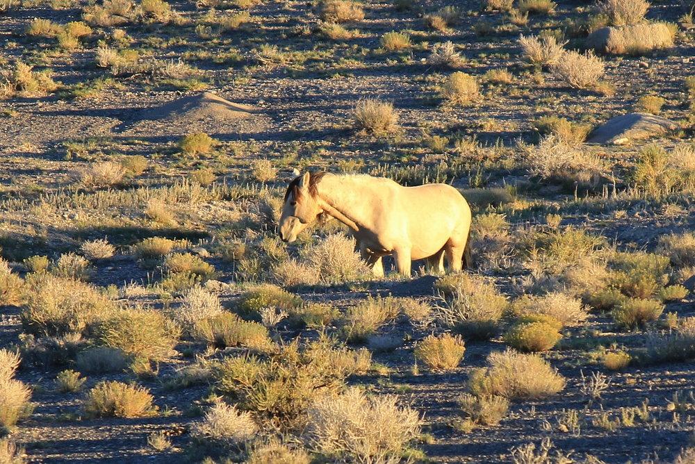 Buckskin near Antelope Spring.JPG