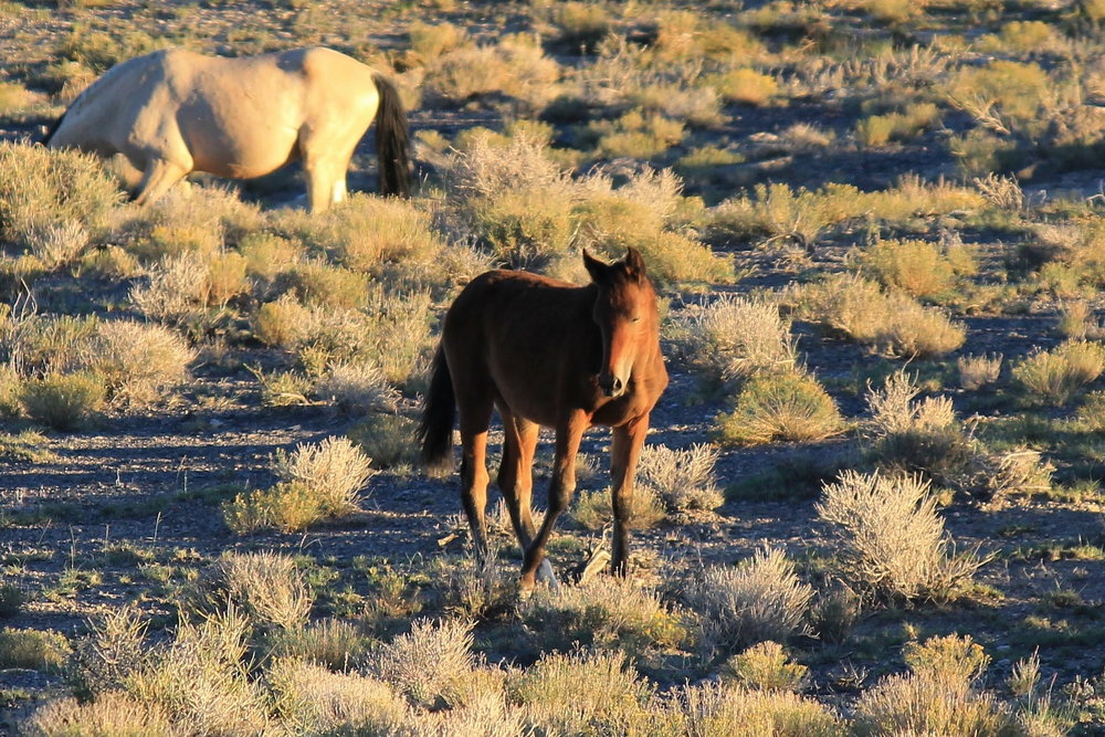 Young Red and Buckskin near Antelope Spring 2.JPG