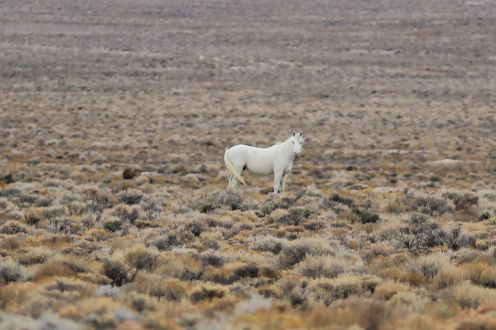 White Stallion near Swasey Spring Road