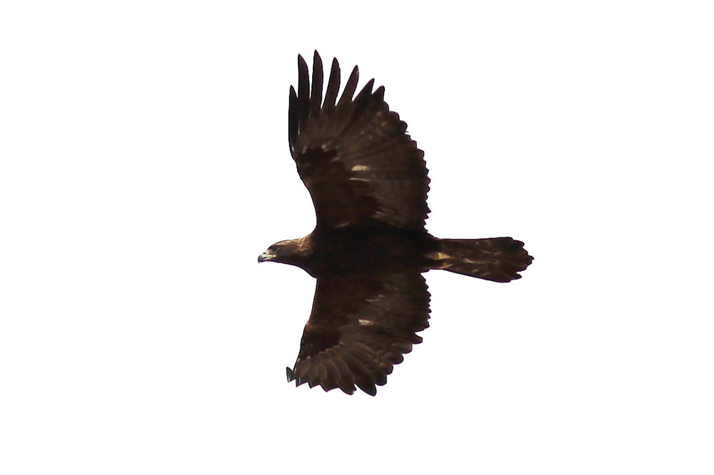 SM Golden Eagle 2.JPG