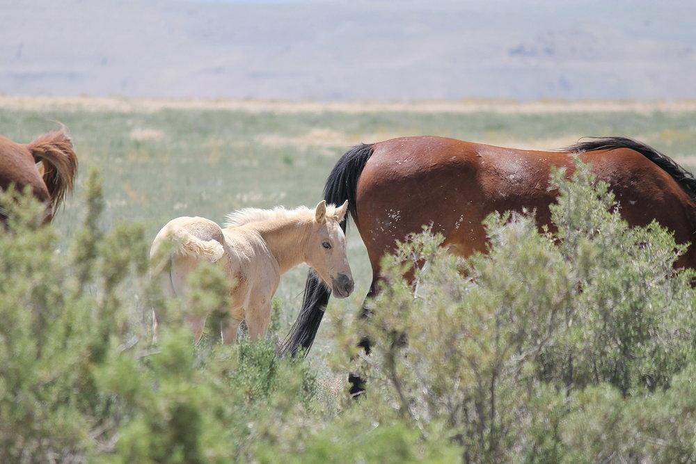 Blonde Onaqui Foal