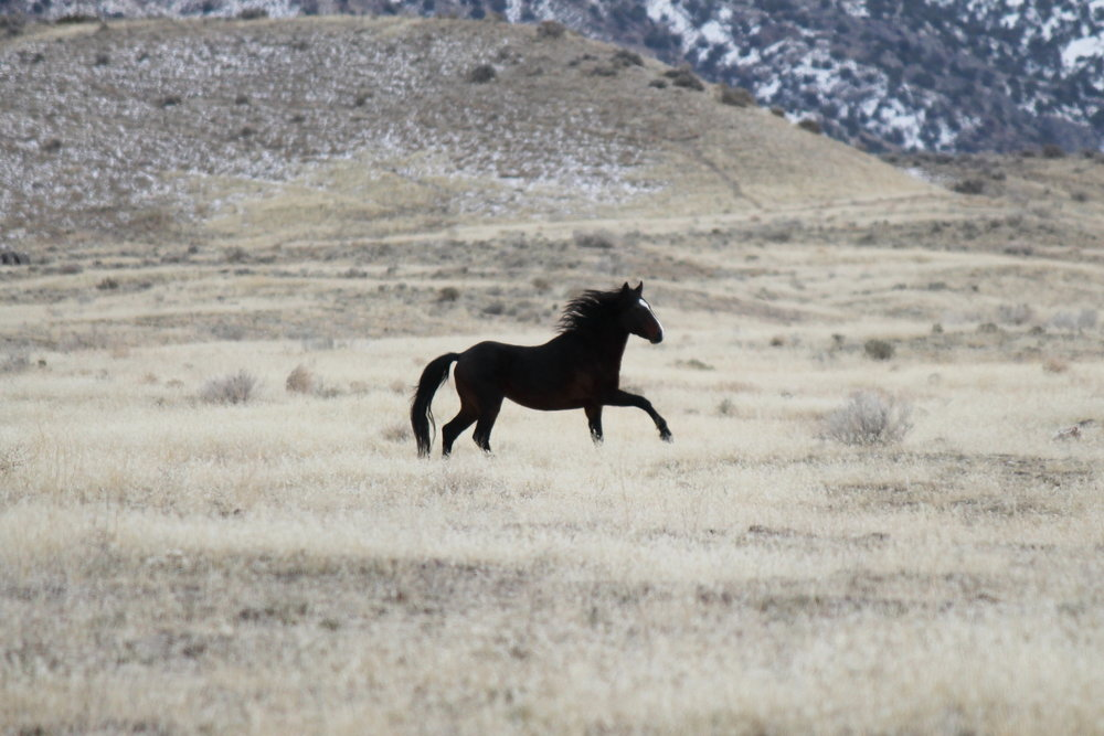 Black Stallion near Cedar Spring