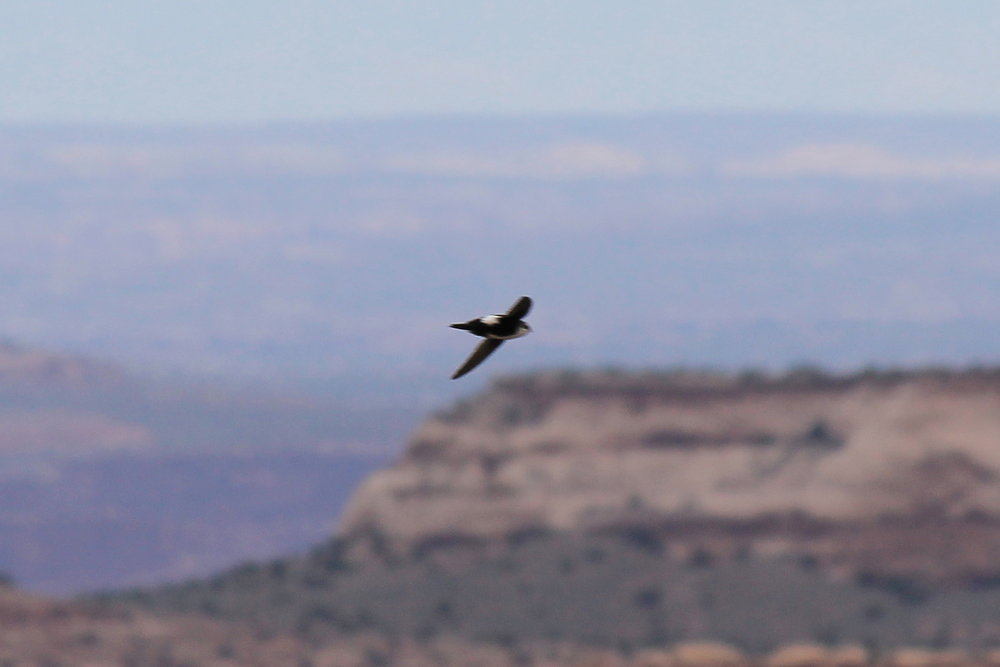 White-throated Swift over Millard Canyon