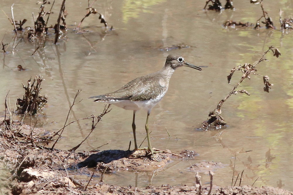 Solitary Sandpiper at pond on Bull Canyon Rd