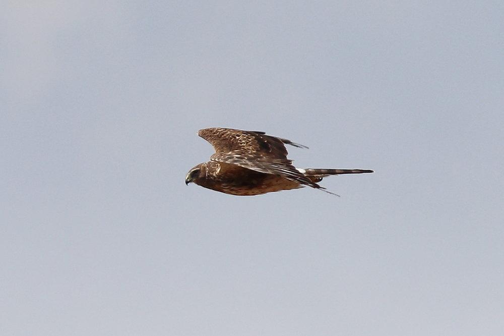 Northern Harrier above Book Cliffs