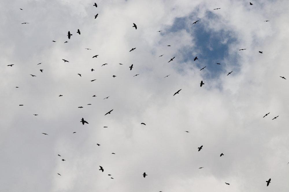 Swarm of Ravens