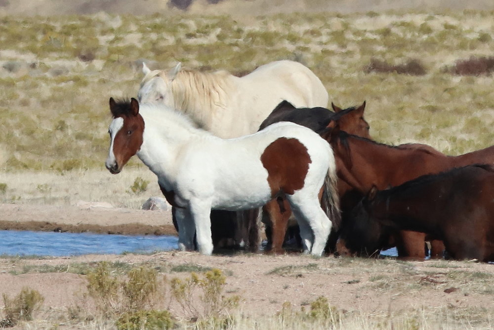 Onaqui Foal at Simpson Springs