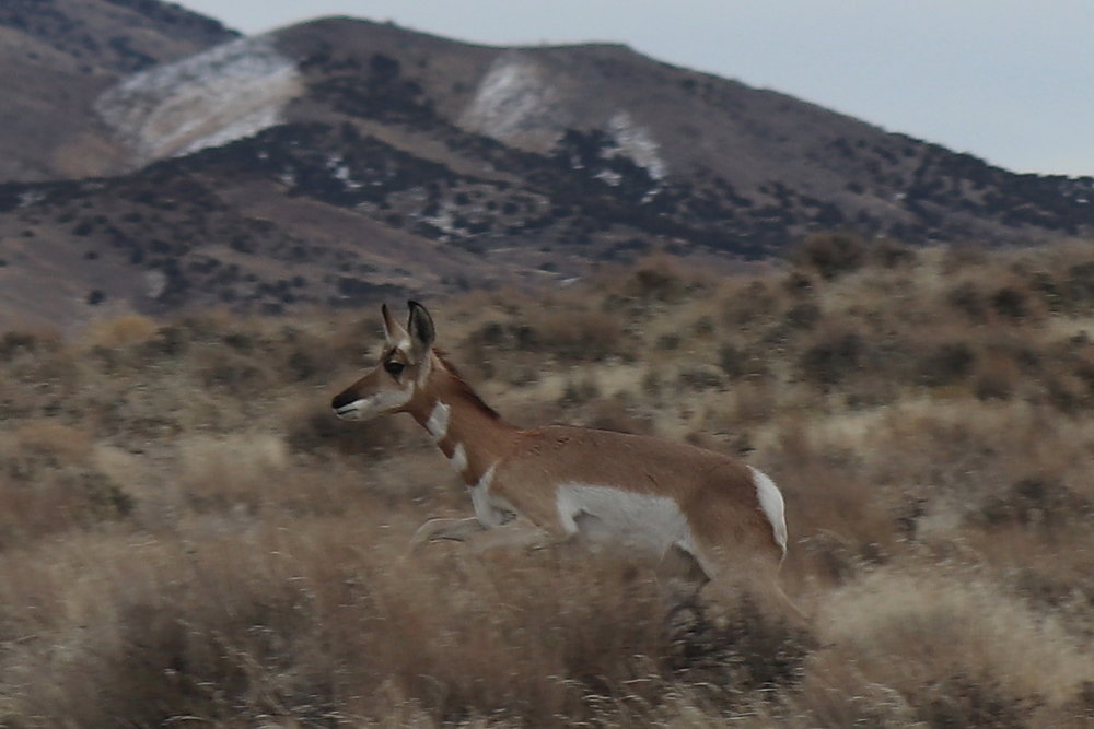 Young Davis Mtn Pronghorn