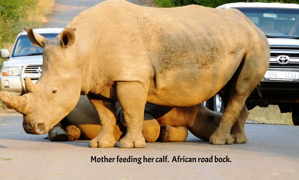 Mother feeding her calf. African Road block