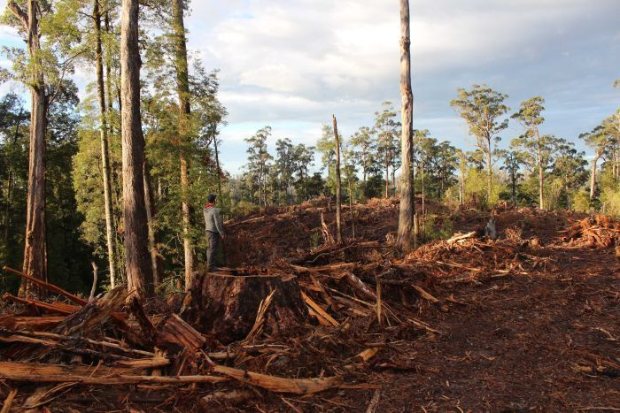 The forest is being destroyed for woodchips, says the Bob Brown Foundation.