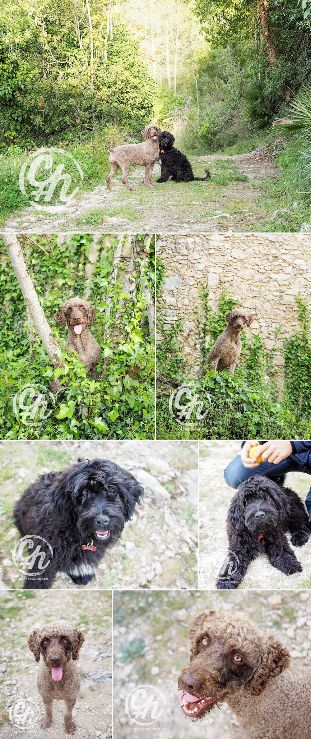 PRUNA, spanish water dog + BOIRA, portugese water dog (black)