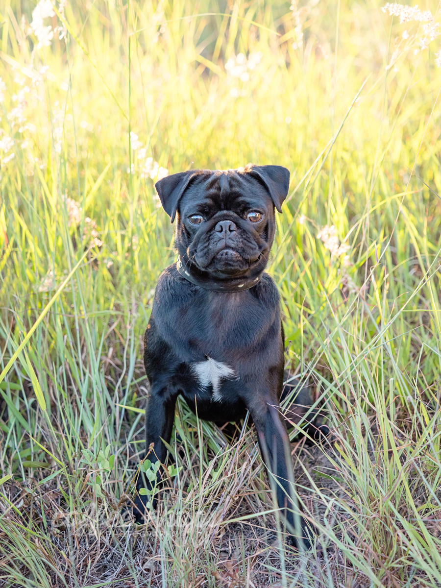 Winston the pug