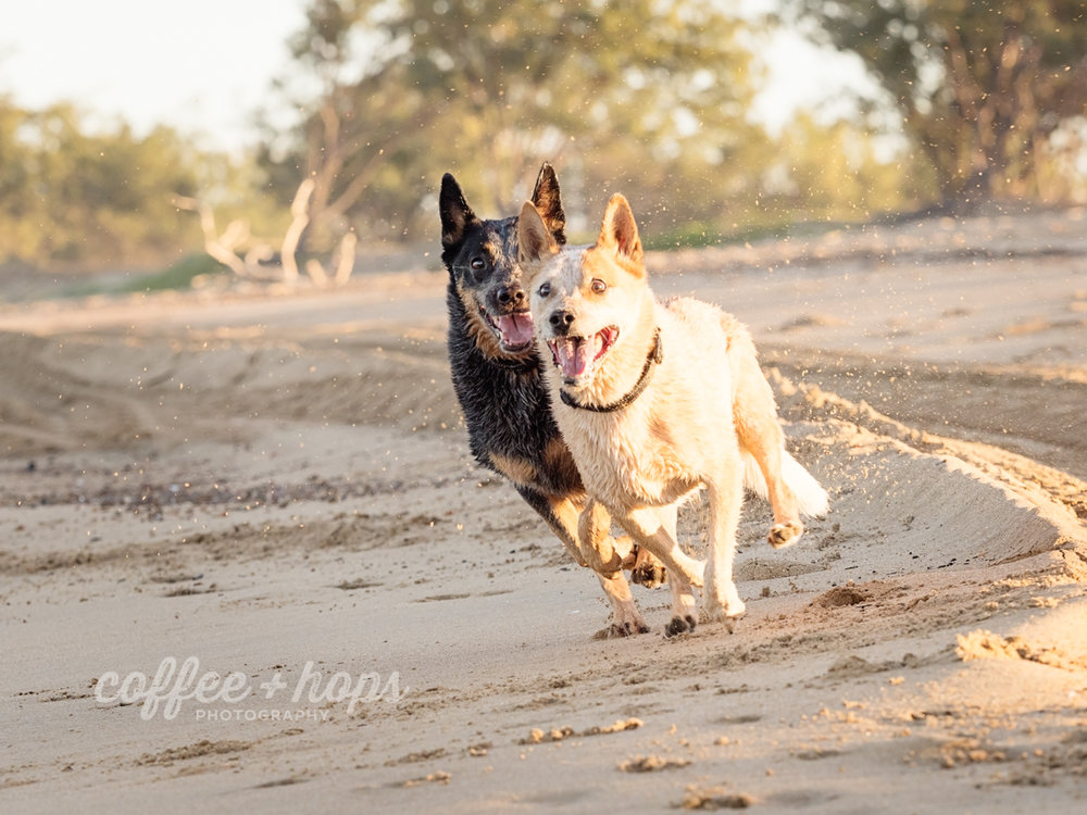 Toby chases the stick, and Kora chases Toby