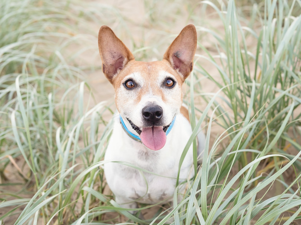 Buddy-the-Jack-Russell-at-Illawong-Beach-Mackay.jpg